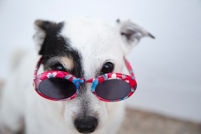 dog red glasses